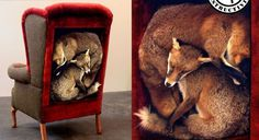 home_img2.jpg (JPEG Image, 925x506 pixels) #taxidermy #sculpture #foxes #misspokeno #furniture #art