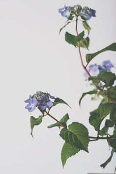 hydrangea6.jpg #plants #studio photography #flowers