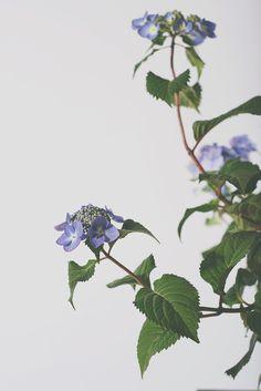 hydrangea6.jpg #plants #studio photography #flowers