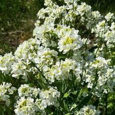 Armoracia rusticana flower picture