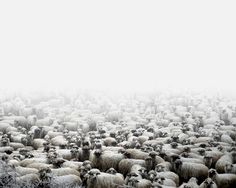 Tamas Dezso - NOTES FOR AN EPILOGUE (2011 - ongoing) #fog #tamas #photography #dezso #sheep #animal
