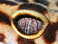 9. Geckos #amphibian #eye #pupil #photography #gecko #vision #eyelid #animal