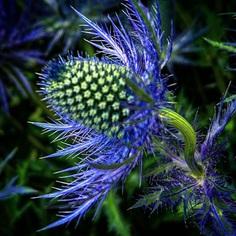 Eryngium Flower Picture