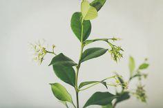 starjasmine3.jpg #plants #jasmine #photography #studio #foiliage #flowers