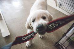 Canon Dog. #canon #dog #puppy #goldenretriever