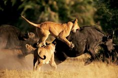 lion-attacking-buffalo-615.jpg (JPEG Image, 615x410 pixels) #wild #lion #photography #nature #buffalo