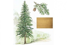 Illustration of Eastern Hemlock