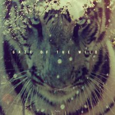 gaze of the W.I.L.D ▲ #wild #tiger #stripes #exposure #nature #double #forest #gaze