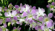 Japanese Orchid Flower