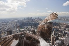 All sizes | Pigeon over NYC | Flickr - Photo Sharing! #empire #manhattan #bird #spread #pigeon #state #nyc #overlooking
