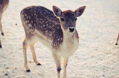 Nol Cobben #nol #deer #photography #cobben