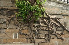 tree-roots-concrete-pavement-19 #root #photography #tree