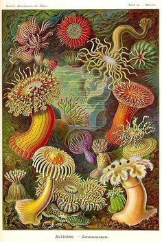 All sizes   Sea anemone   Flickr - Photo Sharing! #illustration #sea