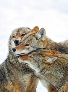 coyote love #coyote #cuddles