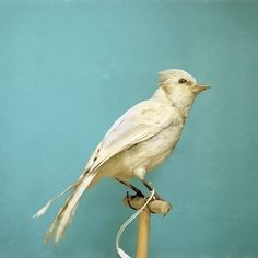 Albino Blue Jay Large Format 30x30 Natural History by dsbrennan #bird #albino #jay #photography #blue
