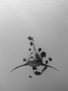 Whitetip Oceanic Shark by Marko Dragoljevic