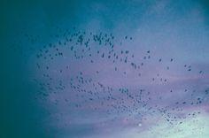 Corvus #birds #sweden #crow #winter