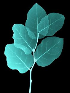 Photography #botanical #solar #leaf #print #plant #botany #photography #leaves