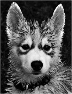 tumblr_li0z151haB1qc1zf3o1_500.jpg (490×640) #dog #wet #fur #puppy #husky