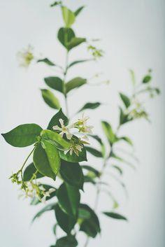 starjasmine4.jpg #plants #studio photography #foiliage #flowers #jasmine