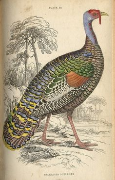1834 pl3 gallinacious #turkey #illustration #colorful #scientific
