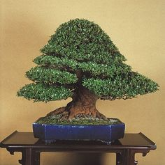 Google Image Result for http://www.bonsaipots.net/uploads/images/dateien-baum/blaudekor001.jpg #azalea #bonsai