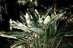 Tropic #cape #africa #town #south #nature #trelitzia #plant