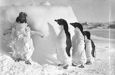 All sizes | Ice cased Adelie penguins after a blizzard at Cape Denison / photograph by Frank Hurley | Flickr - Photo Sharing! #penguins #antartica #hurley #snow #adelie #photography #frank #penguin