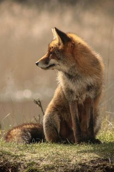 brazenbvll: Wild Fox : (©) #wild #fox #warm #calm #photography #nature #summer #animal #peaceful #beauty