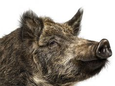 Sandder Lanen #animal #photography #boar