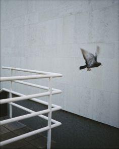 CRACK & SHINE Int'l #pigeon #photography