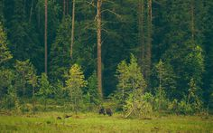 GO 70° NORTH #warm #nature #bear #forest #animal #trees #green