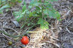 Tomato plant, Ella Clark, taken on the 1st of September, http://suitcasedreaming.tumblr.com