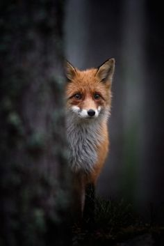 Piccsy :: Foxy #photography #fox
