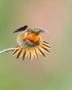 #hummingbird: Magnificent Birds Photography by Elijah Gildea