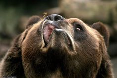 Buzz off: The Toby the Kodiak bear snarls irritably at the bee which is zipping around his nose, just out of striking distance #nose #kodiak #bee #insect #buzz #photography #snout #bear #animal
