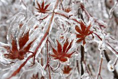 this isn't happiness™ (Ice storm in focus), Peteski #leaf #photo #nature #ice #winter