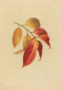 watercolour sketch of black cherry branch. By Isaac Prague