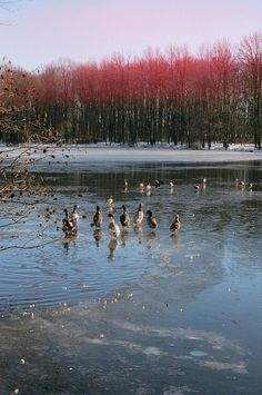 CROZET: Photo #film #35mm #photography #animals #lake #ducks