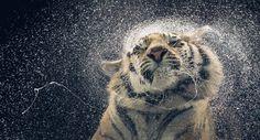 More Than Human – Fubiz™ #photo #tiger #animal