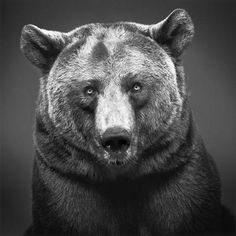 tumblr_lg7h9gpbtP1qap9qio1_500.jpeg (Imatge JPEG, 500x500 píxels) #animal #black and white #photo #bear #pardo