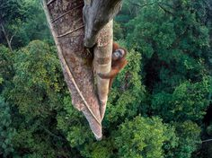 A Bornean orangutan climbs a tree - National Geographic