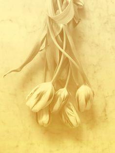 #tulips PHOTOGRAPHIE © [ catrin mackowski ]