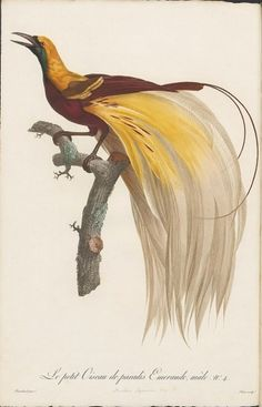 BibliOdyssey: Birds of Paradise #illustration #book #bird