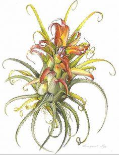 Resultados de la Búsqueda de imágenes de Google de http://www.bromeliad.org.au/news/Ill0109.jpg #flower #illustration