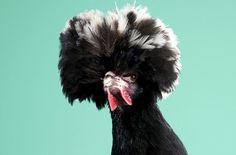 Mitch Payne\'s Poultry series