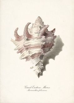 themagicfarawayttree: Vintage Sea Shell Print #ocean #shell #illustration #sea #art #study #drawing