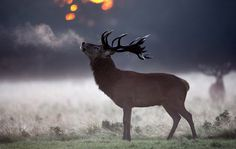 Days of Autumn The Big Picture Boston.com << Dan Kitwood #deer #dusk #richmond #park #stag #photography #beautiful