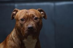DeadFix » Pit #pitbull #dog