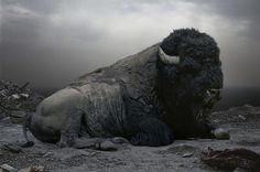 Simen Johan - Buffalo #buffalo #portrait #animal